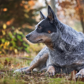 Bindi Girl by Kimberly Kern - Animals - Dogs Portraits ( girl, australian, fall, dog portrait, blue heeler, cattle, dog, acd )