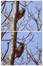 Photo: 撮影者:佐藤サヨ子 アカゲラ タイトル:春らしくなりました 観察年月日:2015年3月18日 羽数:♀1羽 場所:高幡台団地緑地 区分:行動 メッシュ:武蔵府中3H コメント:昨日の暖かさで七生福祉園の桜が咲き始めました。その中で 裏山の笹狩りがはじまってますが、そのそばで上に登ってゆく鳥を見つけコゲラ?と思いながら双眼鏡で確認するとアカゲラでした。昨日のアオゲラと言い、今日のアカゲラといい、春を物語っています。