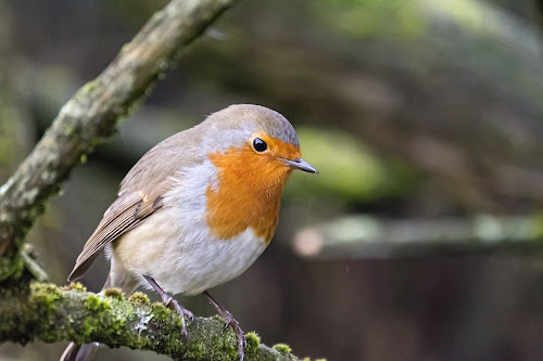 Little red by Kellee Wright - Animals Birds ( bird, robin, red, nature, wildlife,  )