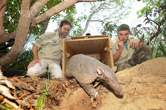 Photo: Giant armadillo release