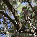 Monk Parakeet
