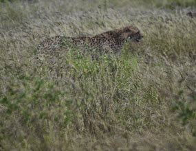 Photo: Cheetah