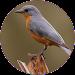 Bird Sounds and Ringtones Icon
