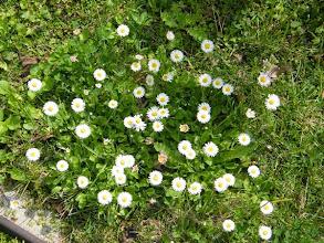 Photo: C'est le printemps ! + 11 degrés ce matin à 4 h à Marignane ! Les pâquerettes au jardin, plus la cytise, le laurier-tin, les soucis, les violettes, en fleurs. Et l'aneth et le fenouil qui poussent ! Les oliviers qui bourgeonnent ! Attention à une surprise du temps....