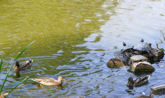 European pond turtles at Circus Park Bucharest lake