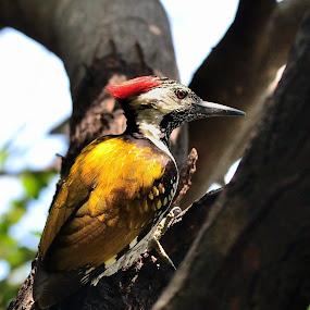 Black Rumped Flameback Woodpecker by Praveen Rao - Animals Birds ( bird, nagpur, woodpecker )