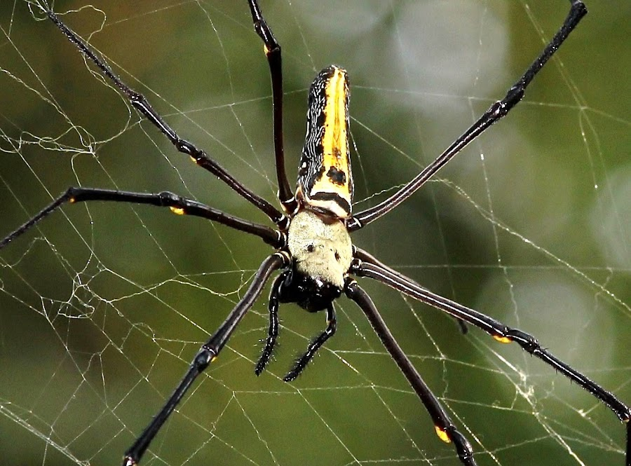 Giant wood spider by Yash Savla - Animals Insects & Spiders ( arthropod, giant wood spider, arachnid, india, spider, insect )