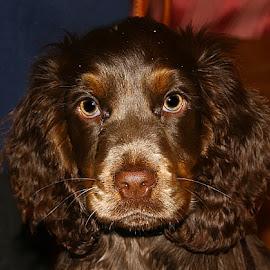 Baby Milo by Chrissie Barrow - Animals - Dogs Puppies ( puppy, cocker spaniel, portrait, brown, dog, pet, roan )