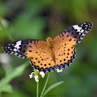 Indian Fritillary ♀