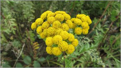 Photo: Crizanteme mici - Vetrice (Tanacetum vulgare) - 2015.07.31 - de pe Calea Victoriei  Album: http://ana-maria-catalina.blogspot.ro/2017/06/crizanteme-mici-cherysanthemum.html