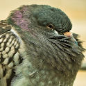 pigeon live wallpaper icon