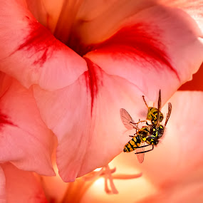 The Wasp and The Hoverfly by James Johnstone - Animals Insects & Spiders ( wasp, pink, gladiolus, hoverfly, flower,  )
