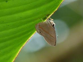 Photo: CHARCOAL-TOPPED SOMBERMARK--euselasia hygenius--EL JARDIN GARDENS