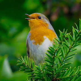 by Nick Swan - Animals Birds ( bird, robin )
