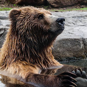 2015_04_19 [1210] - Minnesota Zoo - Brown Bear.jpg