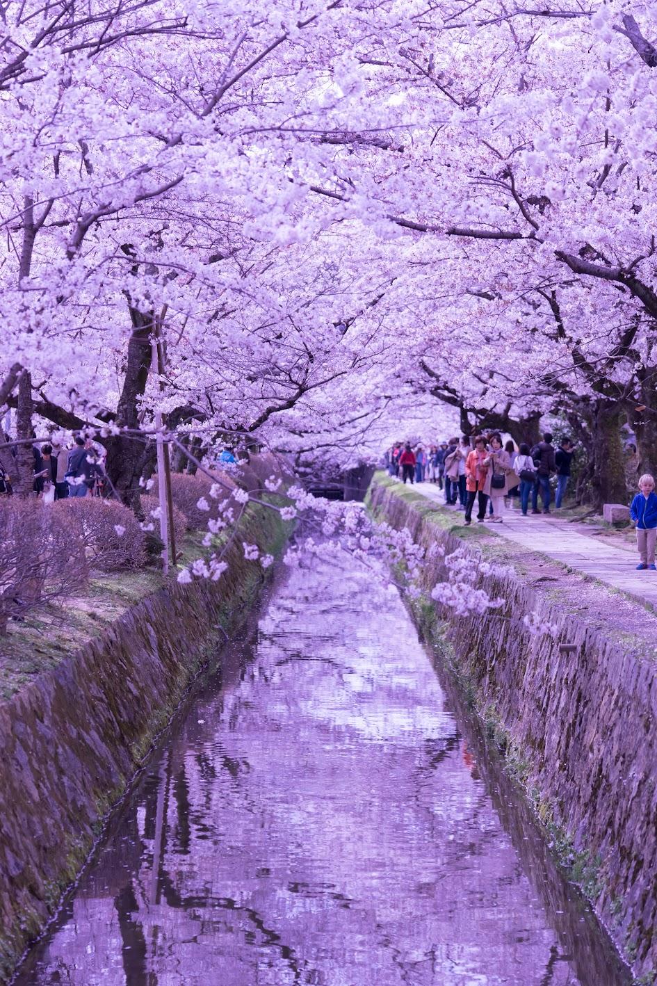 京都 桜 哲学の道4