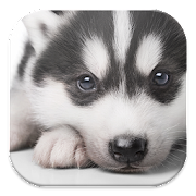 Husky Puppy Live Wallpapers 1.0 Icon