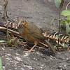 Rusty Cheeked Scimitar Babbler