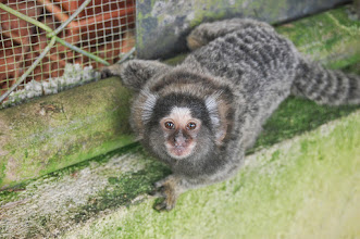 Photo: One of the teenage marmosetts born May 16th, 2012. He has more white on his ears than his sibling. Photo by Martie Stothoff