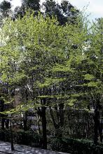 Photo: Acacia de tres espinas (Gleditsia triacanthos)