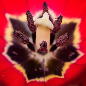 by Mats Andersson - Flowers Single Flower ( red, pistil, stamens, tulip, flower )
