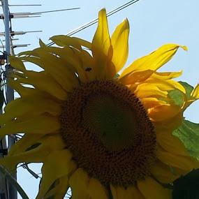Sunflower by Denise Johnson - Flowers Flower Buds (  )