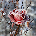 Winter Flowers Live Wallpaper icon