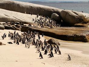 Photo: #024-Les pingouins Africains ou manchots du Cap.