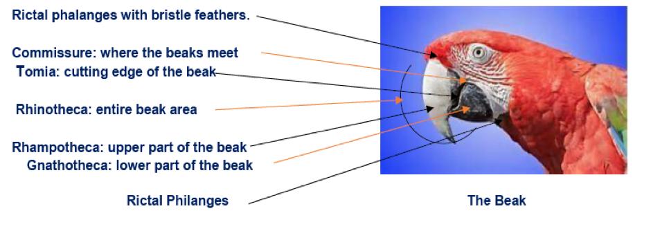 Anatomy of the beak (image courtesy PetEducation.com; used with permission).