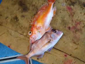 Photo: 真鯛とアカイサキ!