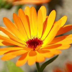 marigold by Cecilie Hansteensen - Flowers Single Flower ( orange, marigold, summer, yellow, flower, sun,  )