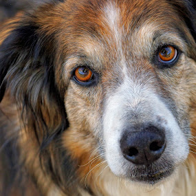 Wise Old Eyes by Twin Wranglers Baker - Animals - Dogs Portraits ( old, old dog, english shepherd, dog, wise old eyes,  )