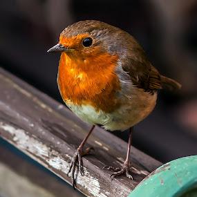 by Thomas Thain - Animals Birds