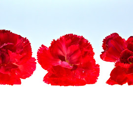 Three Red Flowers by Cal Brown - Flowers Flower Arangements ( flower up close, red flowers, carnation, three, flowers, flower photography,  )