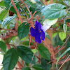 Bush Clockvine