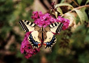 """Photo: Le """"grand-porte-queue"""" ou """"Papilio machaon"""" sur fleurs de buddleia. Sa chenille vit sur les ombellifères comme la carotte cultivée, docus carotte, aneth, fenouil et autres...et dans certaines régions sur le choisya (rutaceae). Il se reproduit de mars à août dans le Midi, en deux générations, parfois rarement trois."""