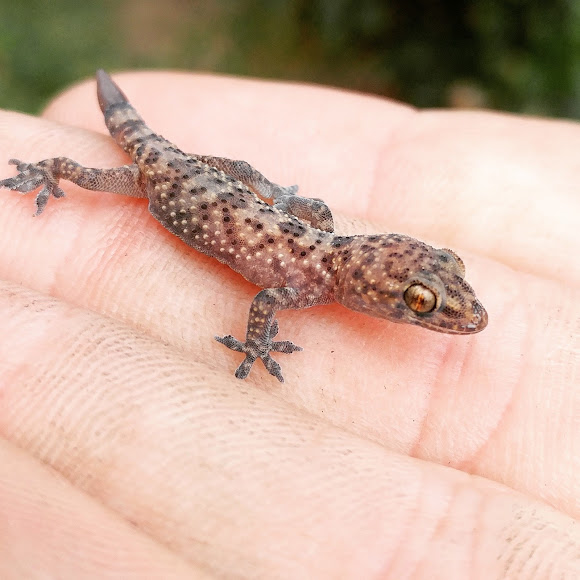 Mediterranean House Gecko Project Noah