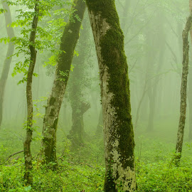 Forest in the fog #2 by Oleg Utyuzh - Landscapes Forests ( spring, foggy, forest, green leaves, misty )