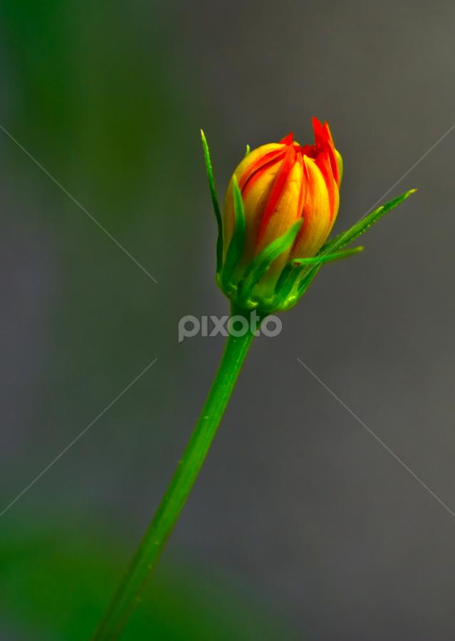 Budding Beauty | Single Flower | Flowers !!! | Pixoto