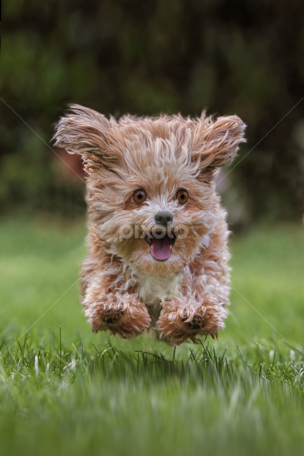 Tear around by Michael Milfeit - Animals - Dogs Running ( natural light, playful, jumping, joy, puppie, run, running, natural background, playing, flying, curious, nature, happy, mamal, animal, moving, animalia, funny, play, charging, adult, young, portrait, close-up, jump, canine, bolonka, animal kingdom, fly, pet, zoology, companion dog, dog, natural,  )