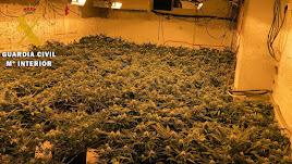 Plantación de marihuana en Arboleas.