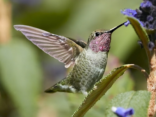 HummerFun ~ 99621~ by Raphael RaCcoon - Animals Birds