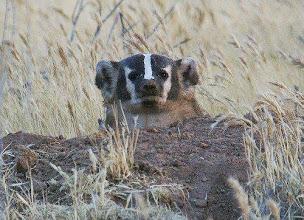 Photo: Badger - B. Bouton