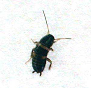 The small (German) roach is much harder to eliminate than its larger cousin