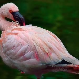 March 12 flamingo in Kolwoon park.jpg