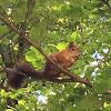 Eurasian Squirrel
