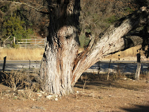 Photo: Next, we stopped by to check on our national champion Honey Mesquite (Prosopis glandulosa), which had cracked a big limb in a recent storm.