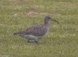Photo: Curlew Holker Lane, Ulnes Walton 01.05.16