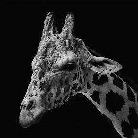 giraffe by Brothers Photography - Black & White Animals ( black and white, giraffe, animal,  )