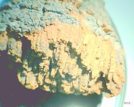 Photo: Echinodontium tinctorium